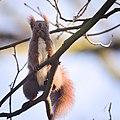 Red squirrel (47142968611).jpg