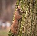 Red squirrel (50837876107).jpg