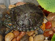 Red eared slider Wikipedia the free encyclopedia