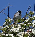 Reed Bunting - Flickr - S. Rae.jpg