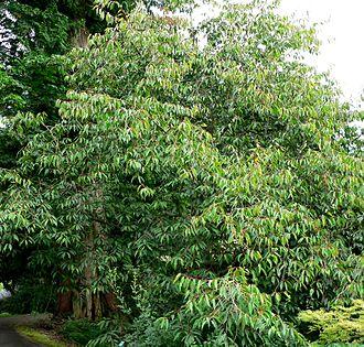 Styracaceae - Image: Rehderodendron macrocarpum form