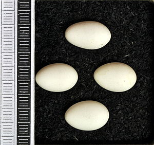Eurasian penduline tit - Eggs, Collection Museum Wiesbaden