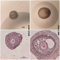 Representative images of the morphology of the follicles before and after the culture. journal.pone.0027550.g001.png