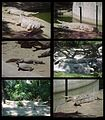 Reptiles del Parque Generalisimo Francisco de Miranda Caracas - Venezuela.jpg