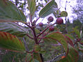 Rhamnus purshiana -- leaves, fruits, twigs.JPG