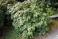 Rhododendron ciliicalyx subsp. lyi (Rhododendron lyi) - Mendocino Coast Botanical Gardens - DSC02194.JPG