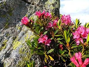 Rhododendron ferrugineum - Image: Rhododendron ferrugineum Valais 4