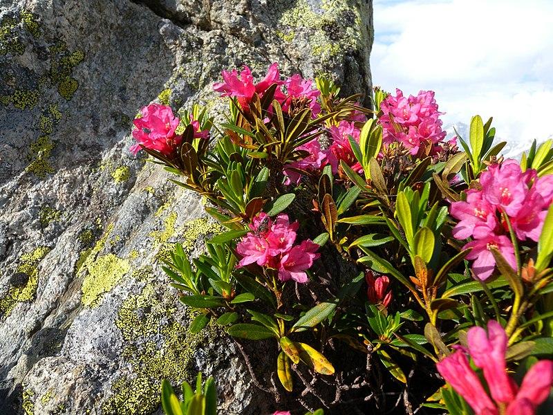 Rhododendron ferrugineum Valais4.JPG
