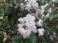 Rhododendron smirnowii 01.JPG