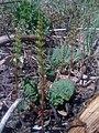 Rhubarbes et prêles (5705482511).jpg