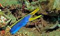 Ribbon Moray (Rhinomuraena quaesita) (6052858389).jpg