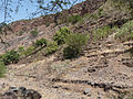 Ribeira Grande de Santiago-Cultures en terrasses-Manioc (2).jpg
