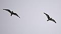 Ring-billed Gulls (Larus delawarensis) - Kitchener, Ontario 2019-07-29.jpg