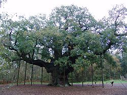 Robin Hood Major Oak.jpg