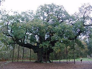 English: Photo of Robin Hood's Major Oak Tree ...