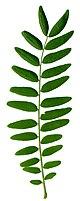 Robinia pseudacacia leaf