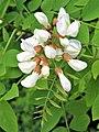 Robinia pseudoacacia. Alcacia (detalle flores).jpg