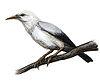Rodrigues Starlingg