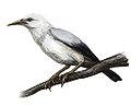 Rodrigues Starling.jpg