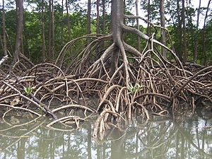 Stilt roots of a Rhizophora mangrove tree capt...