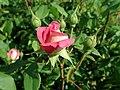 Rosa Benjamin Britten 2019-06-04 5990.jpg