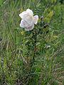 Rosa spinosissima Oulu, Finland 12.06.2013.jpg