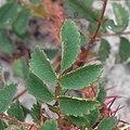 Rosa spinosissima leaf (06).jpg