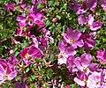 Rosa willmottiae 2.jpg