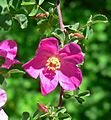 Rosa willmottiae 4.jpg