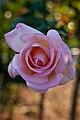 Rose, Michele Meilland - Flickr - nekonomania (3).jpg