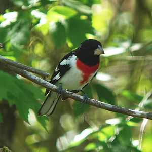 A Rose-breasted Grosbeak (Pheucticus ludovicia...