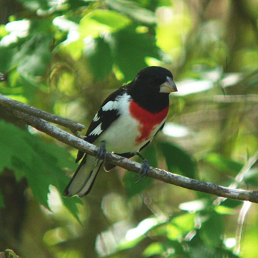 Rose-breasted Grosbeak-2752
