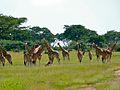 Rothschild's Giraffes (Giraffa camelopardalis rothschildi) (6937034360).jpg