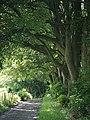 Row of beech trees on the Wayfarer's Walk - geograph.org.uk - 490866.jpg