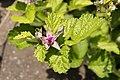 Rubus parvifolius 05.jpg