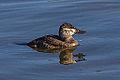 Ruddy Duck (oxyura jamaicensis) (10828007073).jpg