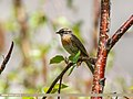 Rufous-breasted Accentor (Prunella strophiata) (34960690776).jpg