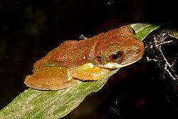 Rufous-eyed Brook Frog.jpg