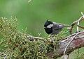 Rufous-naped Tit (Periparus rufonuchalis) (31862779757).jpg