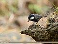 Rufous-naped Tit (Periparus rufonuchalis) (38157365816).jpg