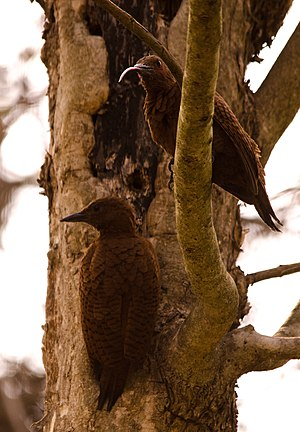 Rufous woodpecker - Pair of Rufous woodpeckers.