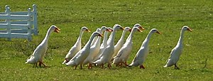 Indian Runner Ducks during a sheepdog demonstr...