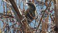 Rusty Blackbird (8149355660).jpg