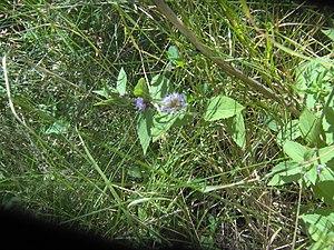 Mentha canadensis - wild mint in Saskatchewan