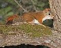 SQUIRREL, RED (Tamiasciurus hudsonicus) (6-5-2015) chittenden co, vt -01 (18554265533).jpg