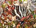 SWALLOWTAIL, ZEBRA (Eurytides marcellus) (2-24-13) kissimmee lake state park, osceola co, fl (1) (9423382218).jpg