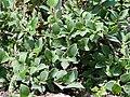 Salix pyrenaica (BG Wroclaw)-1.JPG
