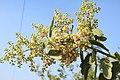 Salvadora persica by Dr. Raju Kasambe DSCN6600 (2).jpg