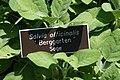 Salvia officinalis Berggarten 3zz.jpg
