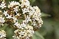 Sambucus africana mtkenya 01.jpg